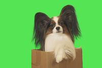 Beautiful dog Papillon in cardboard box on green background