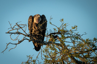 African white-backed vulture perches in golden light