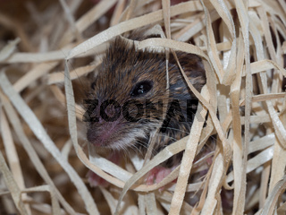 Mouse in wood wool