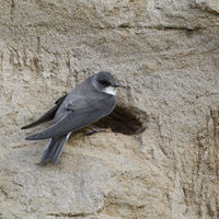 Sand Martin * Riparia riparia * perched at its nest hole in a river bank