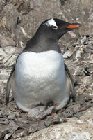 Gentoo Penguin female sitting in the nest with one small chicks in to olonia on a summer day