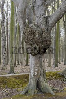 Im Gespensterwald Nienhagen