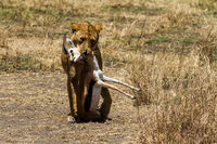 lioness with a gazelle as prey