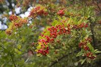 Beeren des Feuerdorn (Pyracantha)