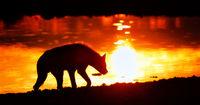 spotted hyena in the sunrise, Etosha National Park, Namibia, (Crocuta crocuta)