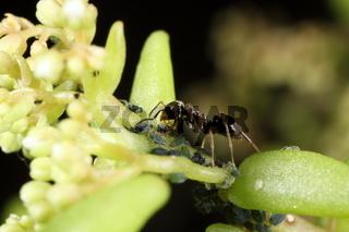 Ameise bei der Blattlauspflege