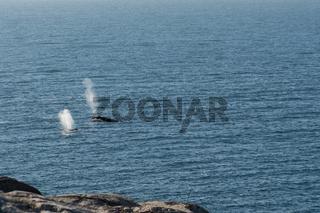 Buckelwalblas, blas vom wal an der Meeresoberfläche