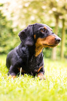Portrait dachshund in nature with blurred background