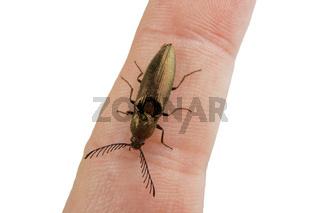 Click beetle (Ctenicera pectinicornis) isolated on a white background