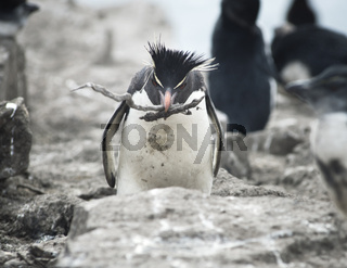 Rockhopper Penguin Carrying Sticks To His Mate On The Nest