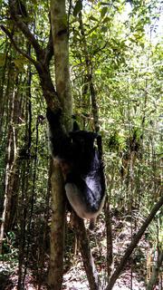 Portrait of Indri Indri lemur at the tree, Atsinanana region, Madagascar