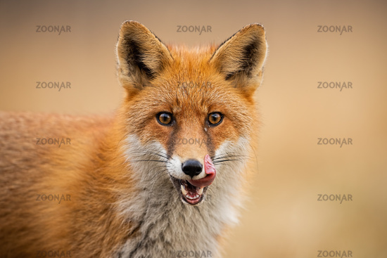 Head of a red fox, vulpes vulpes, looking straight to the camera licking lips.