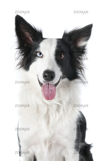 Black and White Border Collie with mouth open looking at the camera isolated on white.