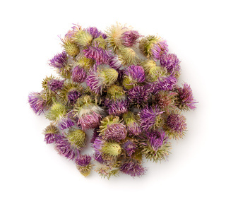 Top view of dried cotton thistle flowers