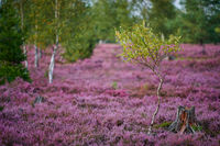 Lueneburg Heath