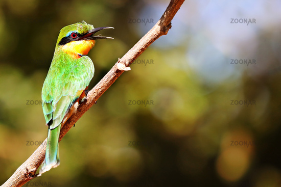 little bee-eater, South Luangwa National Park, Zambia