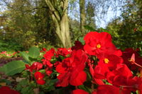 Autumn mood in the park - red-flowered begonias (Begonia spec.)