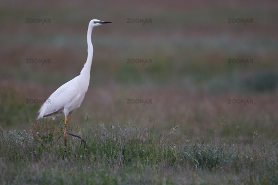egret from Hungary