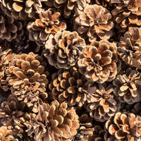 Background of pine cones