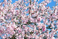 D-_RP-_Mandelblüte in der Pfalz.jpg