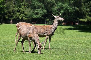 The fallow deer, Dama dama is a ruminant mammal