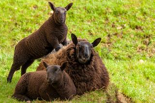 Black Mother Sheep