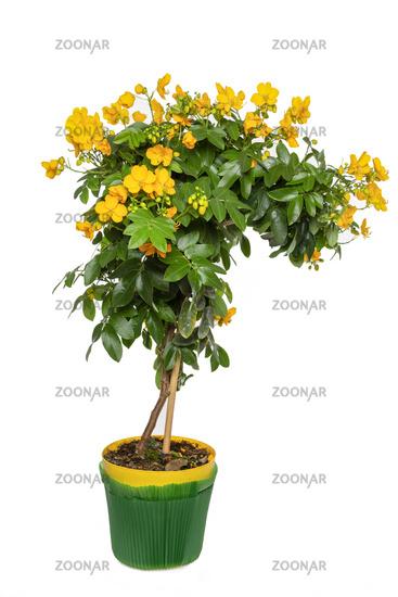 Cassia Corymbosa or Senna Tree, cut-out