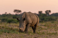 White Rhinoceros or Square-lipped rhinoceros (Ceratotherium simum) in Namibia