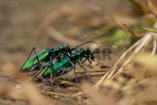 Tiger beetle mating, Kas Plateau, Satara, Maharashtra, India