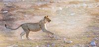 hunting lion, Etosha National Park, Namibia, (Panthera leo)
