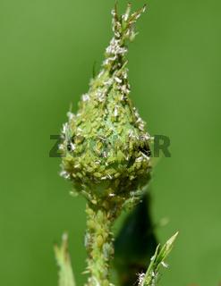 Blattlaeuse, Aphidina, Insekt,