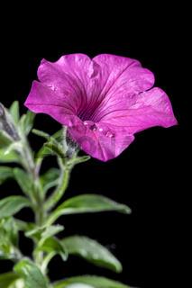 Petunia stem on black near right