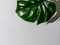 Monstera leaf on gray background