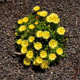 Mittagsblume, Dorotheanthus