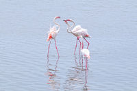 Flamingos in Walvis Bay among themselves Namibia