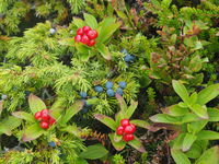 Swedish Dogwood and juniper berries