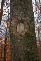 Tree wound on a sycamore maple
