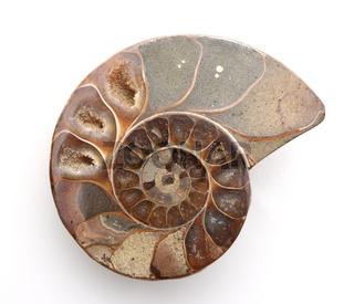 Ammonit, Fossil, Sagittalschnitt
