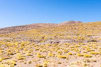 Cile Atacama desert guanacos in nature in a sunny day
