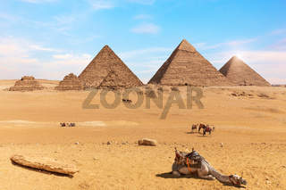 The Pyramids of Giza and camels in the desert of Egypt