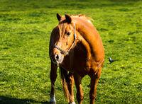 Horse on green meadow in summer, grassland, Ireland