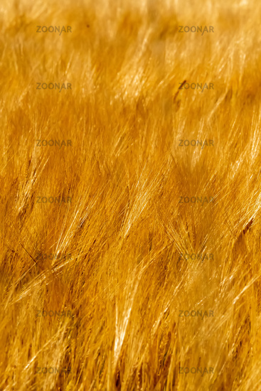 golden wheat fields on sunny day in wyoming