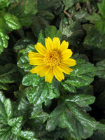 Bay Biscayne creeping-oxeye, Singapore daisy, creeping-oxeye, trailing daisy, and wedelia