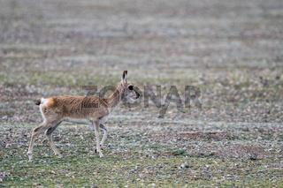 tibetan gazelle closeup