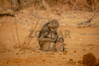 Chacma baboon mother and baby sitting.