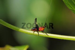 Orange nymph Katydid, Conocephalusysp, Tettigoniidae, Tripura, India