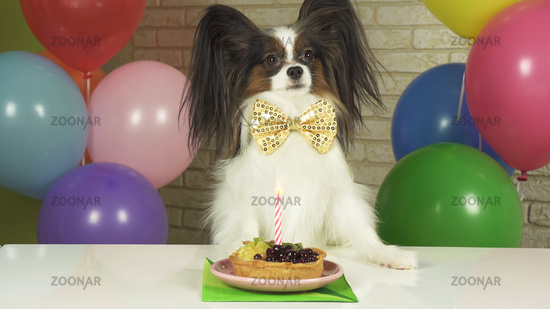 Fancy Dog Papillon eating birthday cake with candle