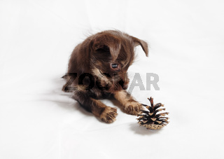 Puppy and pine cone