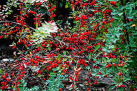 Bush of ripe barberry