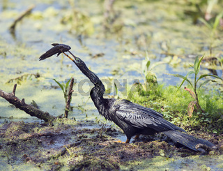 Anhinga downing a fish in the swamp